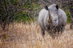 Rhino South Africa Stock Photo