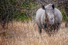 Rhino South Africa. White Rhino in South Africa stock photo