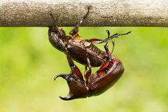 Rhino Stag Beetle Royalty Free Stock Photos