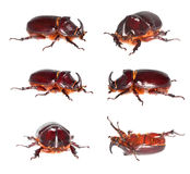 Rhino stag beetle isolated on white background. stock photos