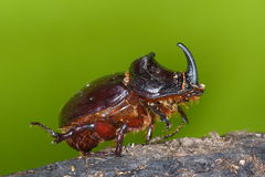 Rhino stag beetle Royalty Free Stock Image