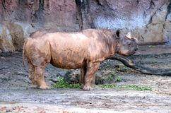 Rhino Stance Royalty Free Stock Images