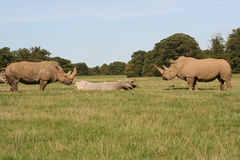 Rhino Stand Off. Two Rhinos opposite each other in a duel like stance Royalty Free Stock Photography