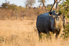Rhino standing in the bush Royalty Free Stock Images