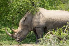 Rhino in the bush. Rhino standing within the bush in Africa stock photos