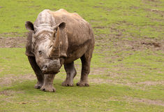 Rhino standing on a field of grass Royalty Free Stock Images