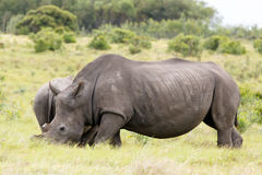 Rhino standing in front of her baby. In the field royalty free stock photo