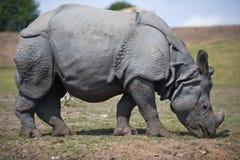 Rhino standing. Full side view of Rhino body standing in field Stock Photo