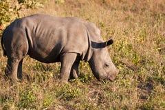 Rhino standing in nature calf Royalty Free Stock Photo