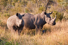 Rhino standing in nature Royalty Free Stock Photos