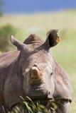 Rhino standing in nature Royalty Free Stock Photo
