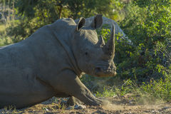 Rhino standing up in early morning sunlight. In the bush stock image