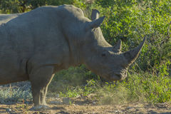 Rhino standing up in early morning sunlight. In the bush royalty free stock photography