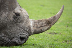 Rhino step Royalty Free Stock Photography