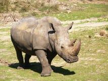 Rhino in the sun. Rhino in a desert field stock images