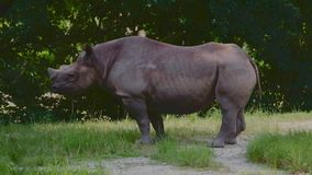 Rhino on a sunny day stock video footage