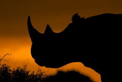 Rhino at sunset. A silhouette of a rhinoceros at sunset Royalty Free Stock Photo