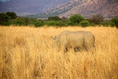 Rhino in tall grass in Pilanesberg National Park royalty free stock photo