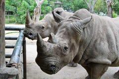 Rhino in Thailand zoo. Rhino, horn, animal wild wildlife ungulate, rhinocerous, mammal hide herbivore asia africa herbivore zoo big safari park large Royalty Free Stock Photography