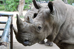 Rhino in Thailand zoo. Rhino, horn, animal wild wildlife ungulate, rhinocerous, mammal hide herbivore asia africa herbivore zoo big safari park large Royalty Free Stock Photo