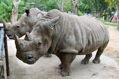 Rhino in Thailand zoo. Rhino, horn, animal wild wildlife ungulate, rhinocerous, mammal hide herbivore asia africa herbivore zoo big safari park large Royalty Free Stock Image
