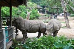 Rhino in Thailand zoo. Rhino, horn, animal wild wildlife ungulate, rhinocerous, mammal hide herbivore asia africa herbivore zoo big safari park large Stock Photography