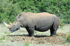 Rhino on toilet stock images