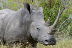 Rhino with two large horn cloe-up portrait Stock Photo
