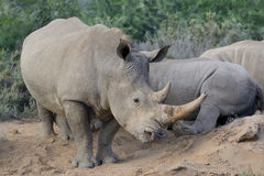 Rhino with two large horn Stock Image
