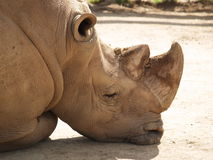 Rhino under the sun. Resting Stock Photo