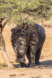Rhino Tree Protection Wildlife. Young White Rhino about three years old standing resting under a small acacia thorn tree at dry waterhole in the mid day sun Stock Images