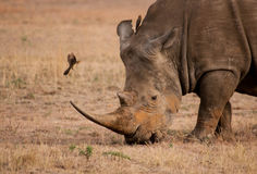 Rhino vs Ox-pecker. Ox-pecker flying in to land on a rhino royalty free stock images