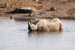 Rhino wading in Namibia Royalty Free Stock Photos