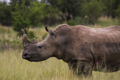 African Rhino walking across road Stock Photography