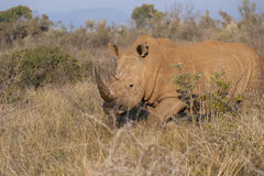 Rhino walking in African bushes Royalty Free Stock Photo