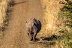 Rhino Walking Dirt Road. Rhino male walking down the dirt road in the morning light . Photo image captured from behind the animal with a telephoto lens Stock Photo