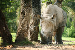 Rhino walking and eating food on the floor.  Royalty Free Stock Photography