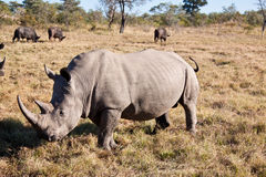 Rhino walking on grass plain Royalty Free Stock Photography