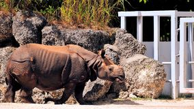 Rhino walking Royalty Free Stock Image