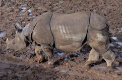 Rhino walking in the mud. Dirty water old strong big dangerous animal royalty free stock photography