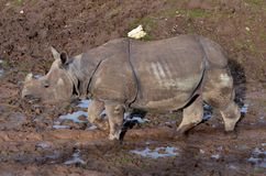 Rhino walking in the mud. Dirty water old strong big dangerous animal stock photography