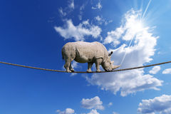 Rhino Walking on Rope. Great white rhino walking on steel cable, blue sky with clouds in the background Stock Images
