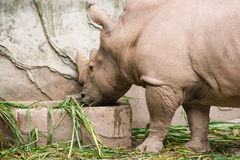 Rhino was eating Stock Image