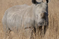 Rhino. This    rhino  was   photographed in  Rietvlei  nature  reserve  near  Pretoria. They were   dehorned to  save  their  lives Stock Photos