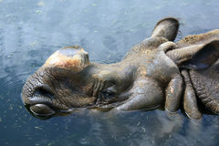 Rhino in the water. Without horn Stock Image