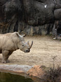 Rhino by the Water royalty free stock photo
