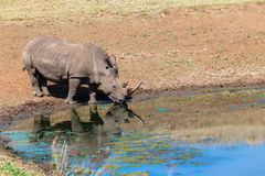 Rhino Water Mirror Reflection Stock Photos
