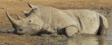 Rhino at water hole Stock Image