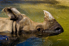 Rhino in water royalty free stock photo
