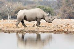 Rhino at waterhole Stock Image
